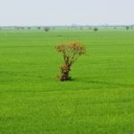 Tonle Sap - Rice field