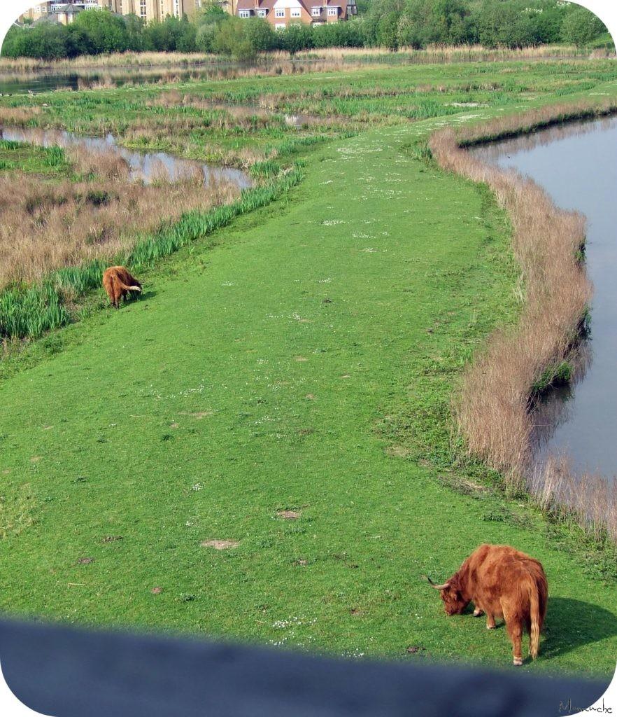 Wetlands - Couple boeufs ecossais